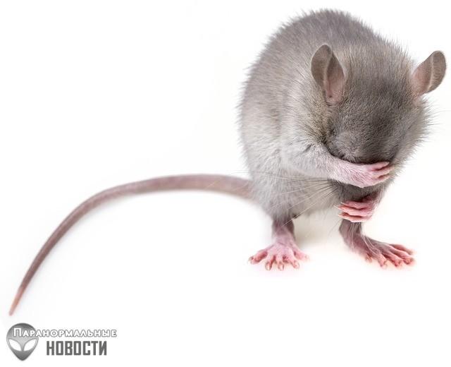 Крысы оказались еще умнее и сообразительнее, чем считалось ранее | Загадки планеты Земля | Паранормальные новости