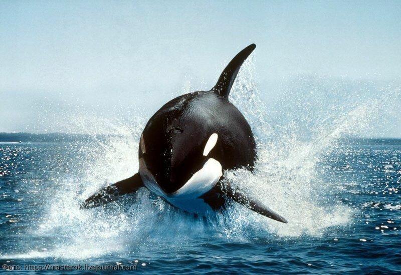Касатки: особенности обитания красивых, но опасных хищников из семейства дельфиновых