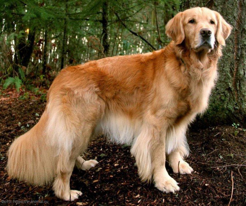 5 популярных пород собак, за которыми сложно ухаживать