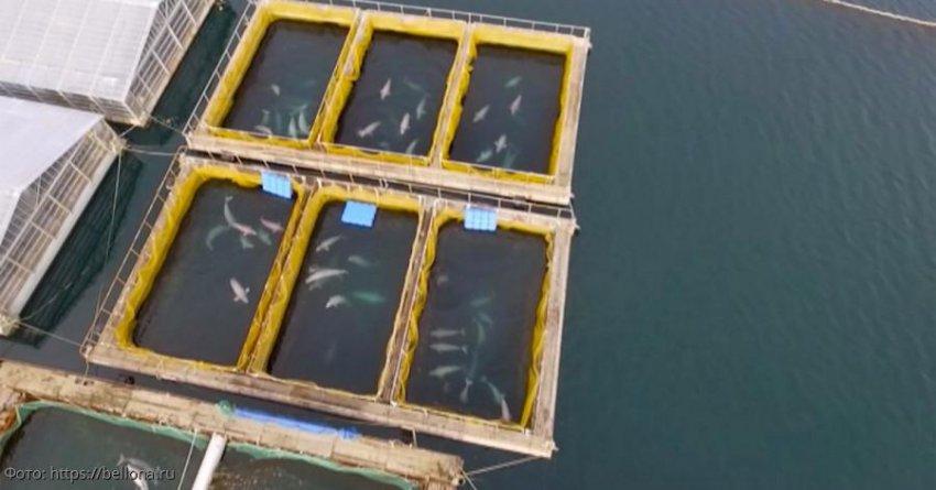 Greenpeace: ситуация с «китовой тюрьмой» в России может повториться