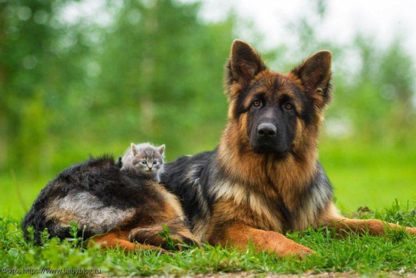 6 пород собак, которые хорошо ладят с кошками