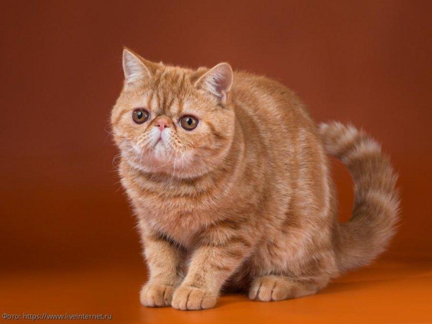 5 пород кошек, за которыми легко ухаживать