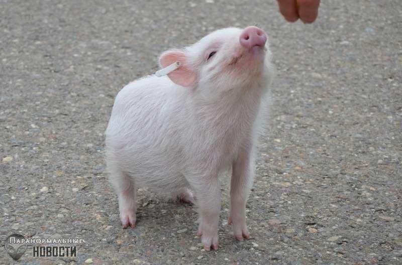 Сенсация в медицине: Человеку впервые пересадили кожу свиньи