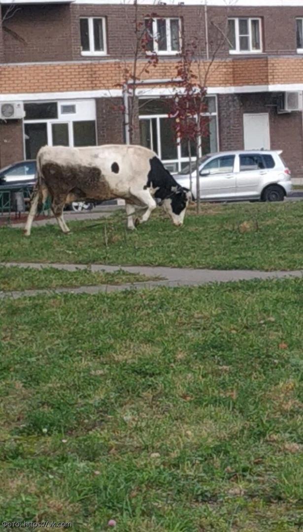 В Москве во дворе выгуливают корову