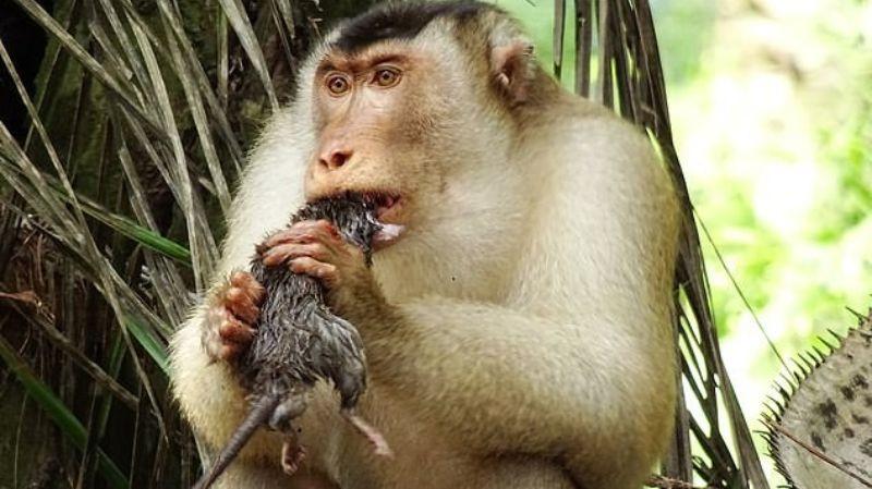 Обезьяны в Малайзии начали массово поедать крыс
