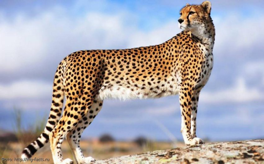 Самые быстрые животные мира