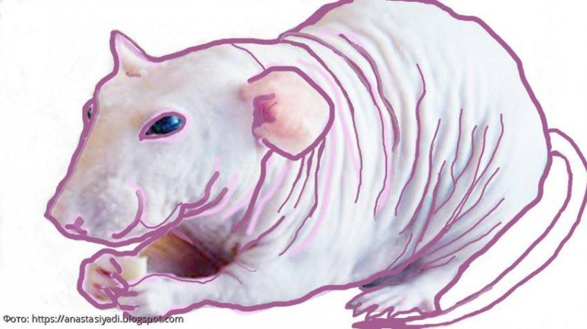Белая Металлическая Крыса: что сулит нам 2020 год по восточному календарю