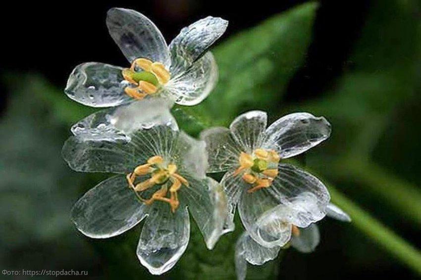 Двулистник Грея – «хрустальный цветок», который боится дождя