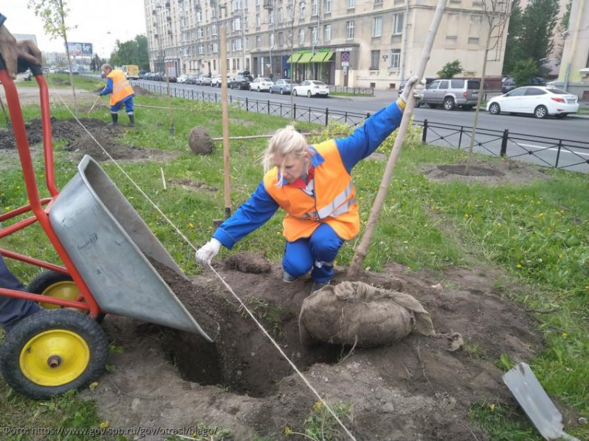 В Петербурге посадили 70 новых кленов