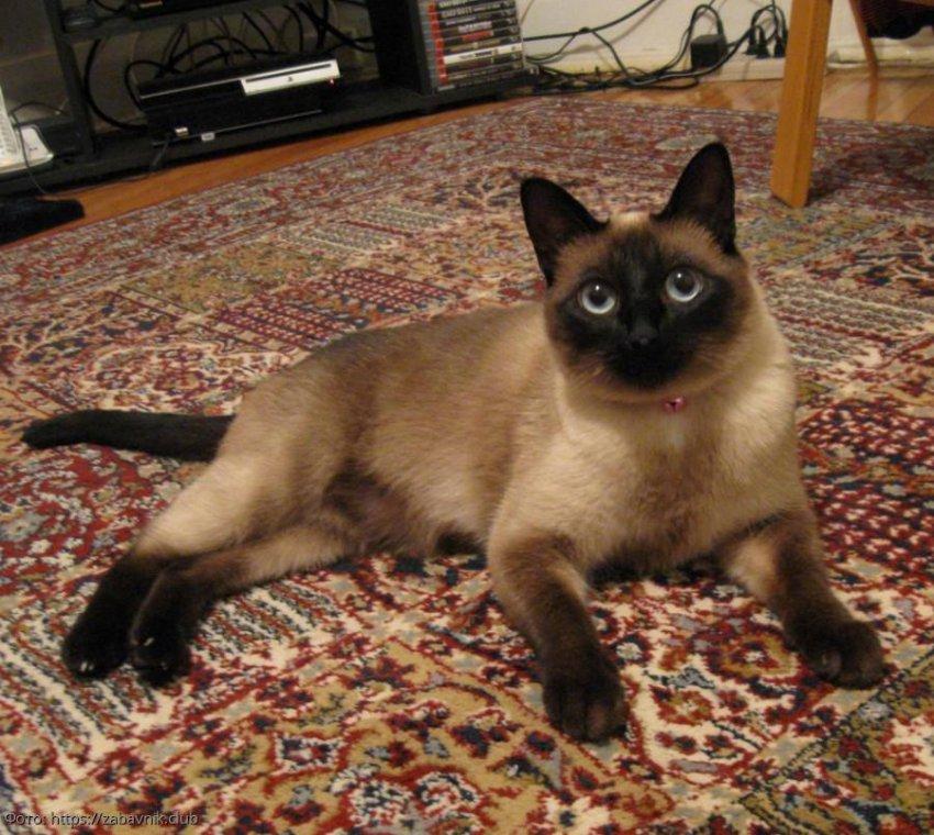 О чем предупреждают кошки
