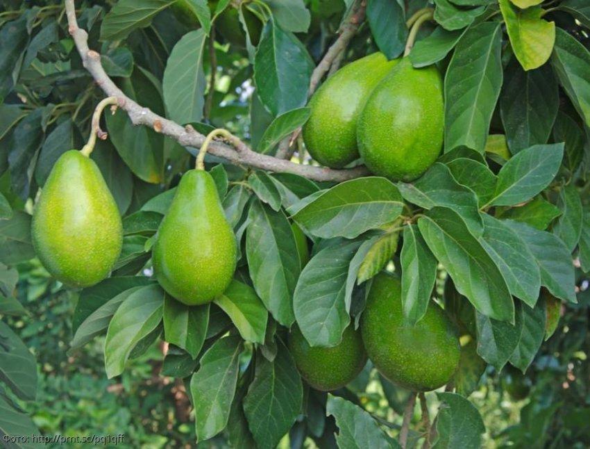Авокадо: полезные и вредные свойства фрукта