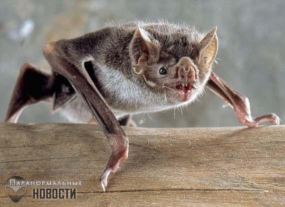 Загадка гигантских эфиопских летучих мышей-вампиров