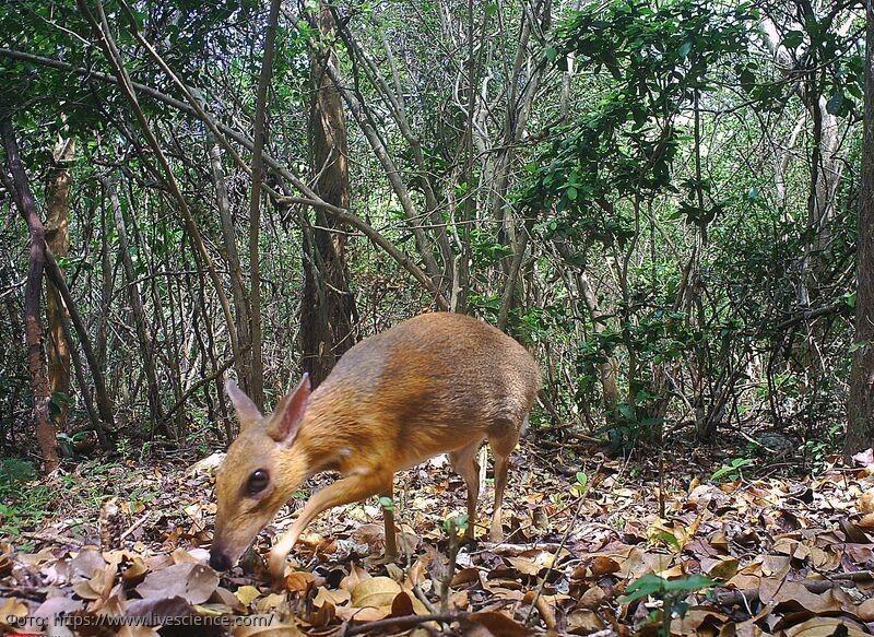 Наполовину олень, наполовину мышь: во Вьетнаме обнаружен миниатюрный клыкастый олень