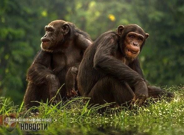 Месть обезьян: В Уганде шимпанзе начали массово похищать и убивать человеческих детей