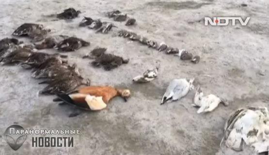 «Никогда не видел тут ничего похожего»: В Индии загадочной смертью умерли 5 тысяч птиц