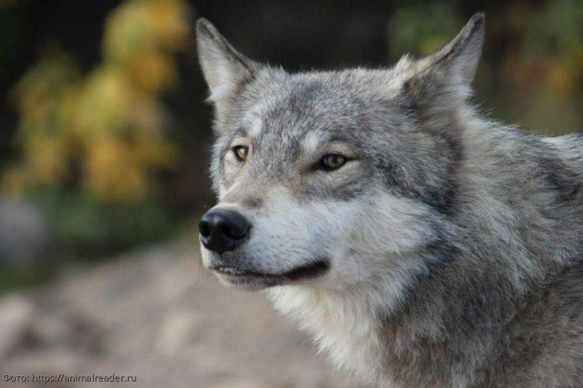 Монгольский серый волк установил рекорд, пройдя за год больше 7 тысяч километров
