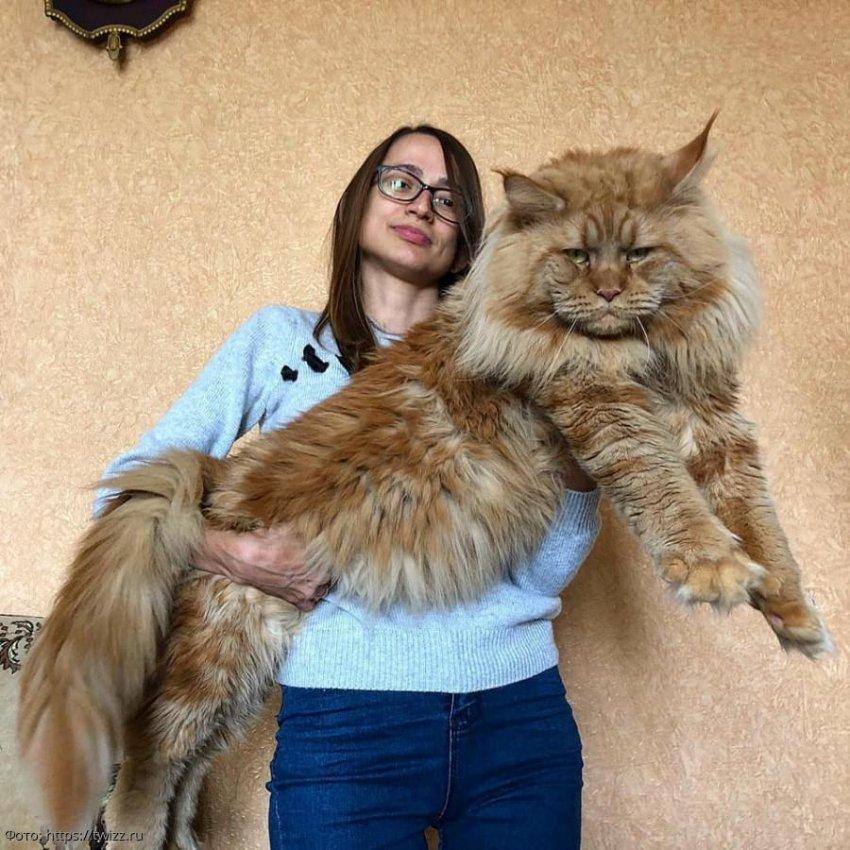 10 фотографий здоровенных котов, которые сами выглядят, как хозяева людей