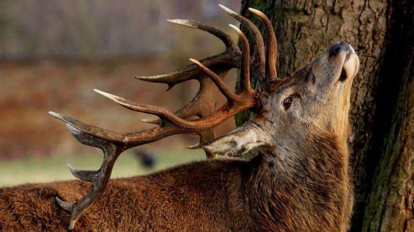 Болезнь «зомби-оленей», возможно, уже начала передаваться людям