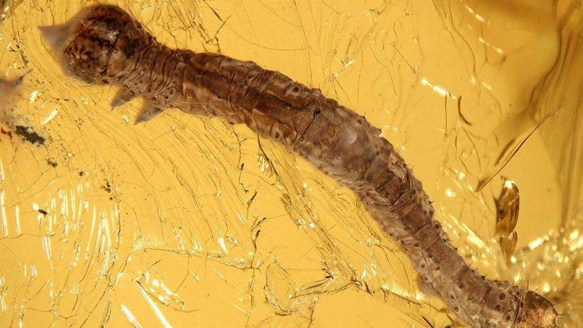 В янтаре обнаружена гусеница возрастом 44 млн лет