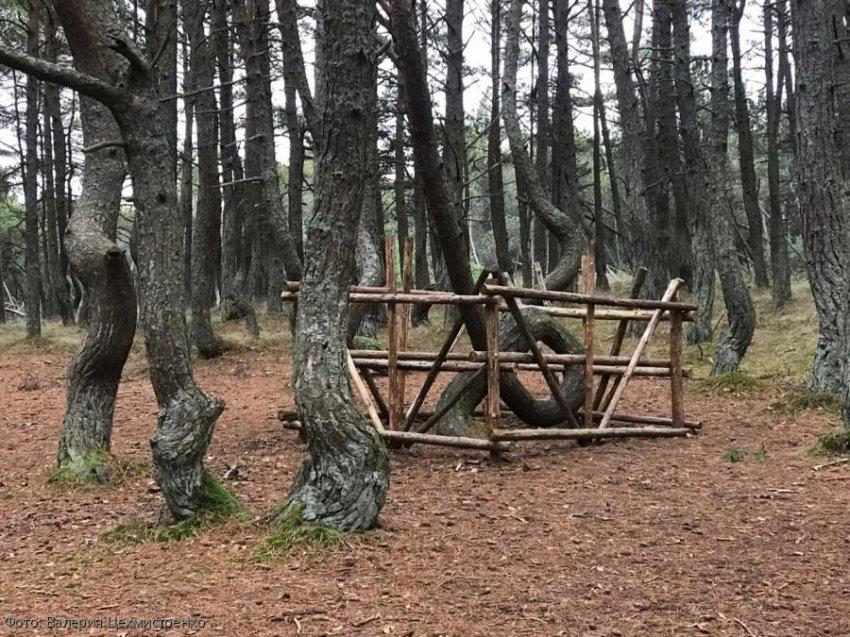 История загадочного Танцующего леса на Куршской косе