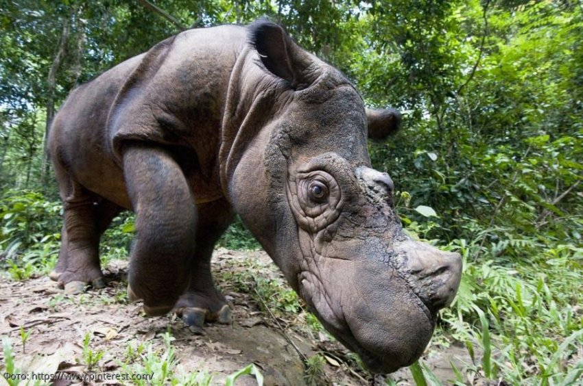 Малайзия прощается с Иманом, его последним суматранским носорогом
