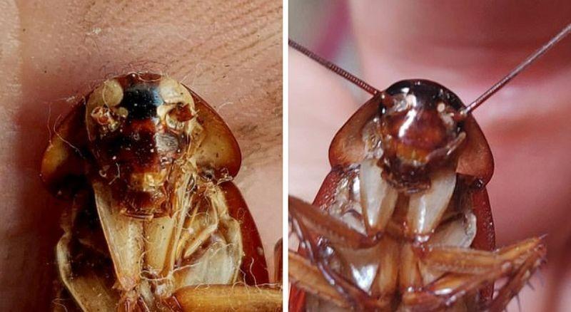 На Мальте обнаружены тараканы-мутанты