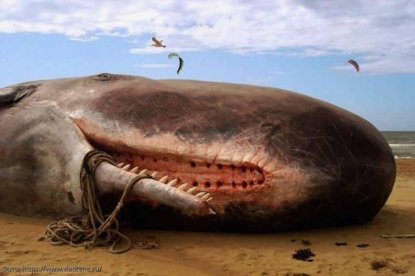 Внутри мертвого кашалота,выброшенного на пляж в Шотландии, обнаружено 100 кг мусора