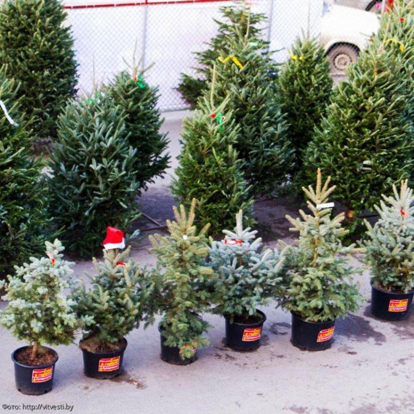 Эксперты Роскачества дали рекомендации по выбору новогодней елки