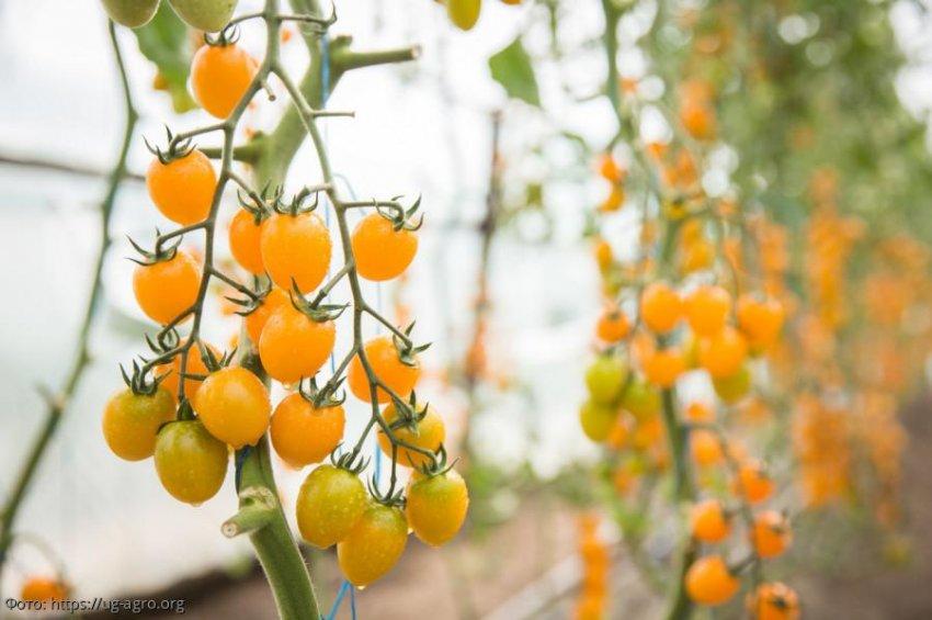 Эксперты группы компаний «Мое Лето» выбрали 5 популярных сортов томатов черри в 2019 году