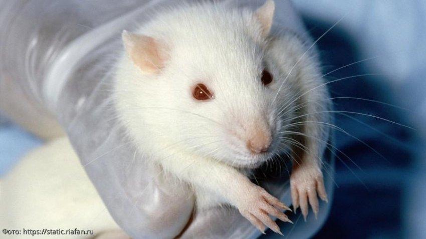 Россияне стали массово покупать живых крыс перед Новым годом