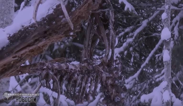 В канадских лесах засняли стоящего рядом с деревом огромного волосатого йети