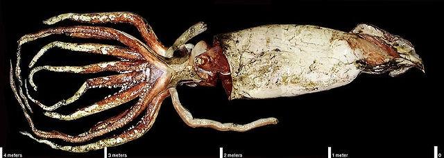 Ученые разобрали геном гигантского кальмара и увидели, что у этого существа очень развитый мозг
