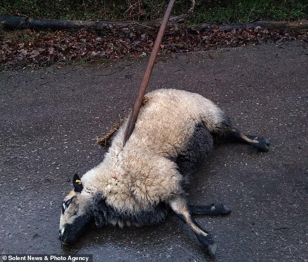 Таинственные сатанисты продолжают зверски убивать британских овец