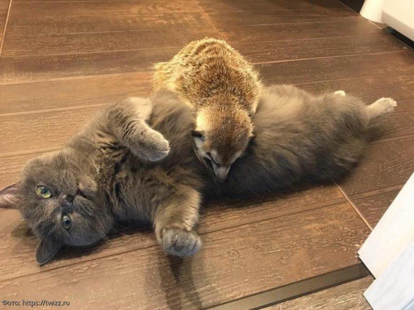 Сурикат Суря и кот Найз из Петербурга покоряют соцсети
