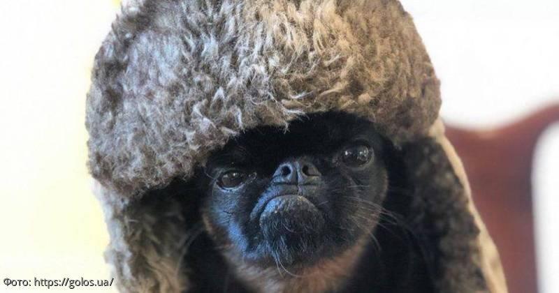 Новая интернет-сенсация - собака с вечно сердитой мордочкой