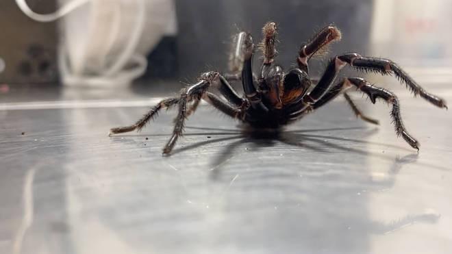 Из-за жары в Австралии начали появляться пауки-гиганты | Паранормальные новости