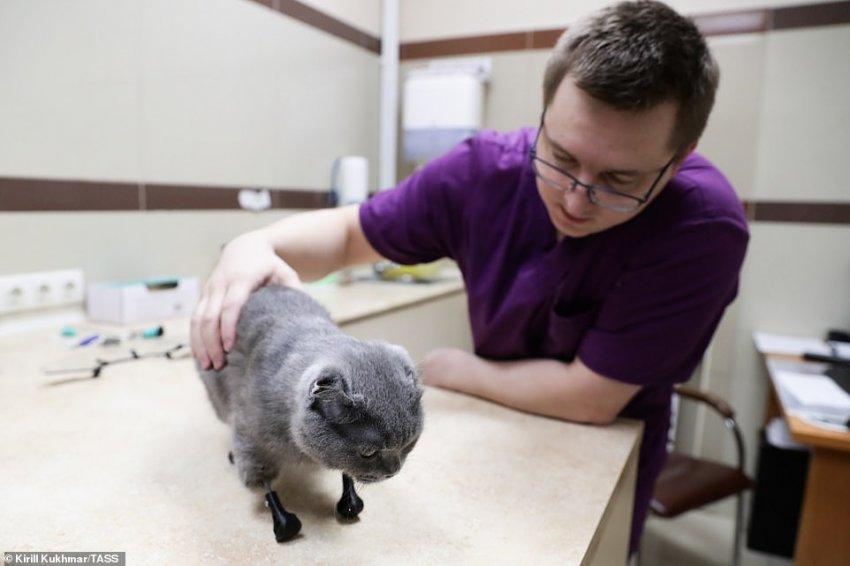 Будущее уже здесь: Бионическая кошка Дымка с титановыми протезами всех четырех лап