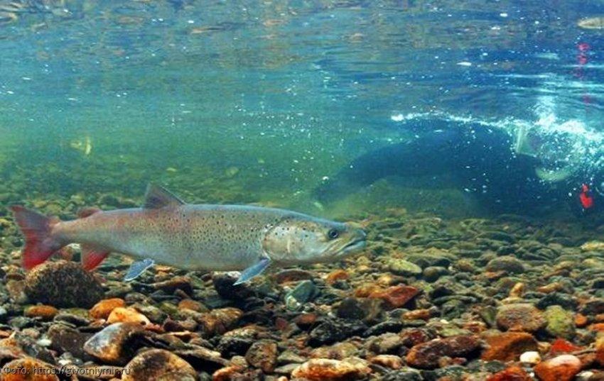 ТОП 7 ценных промысловых видов рыбы Байкала