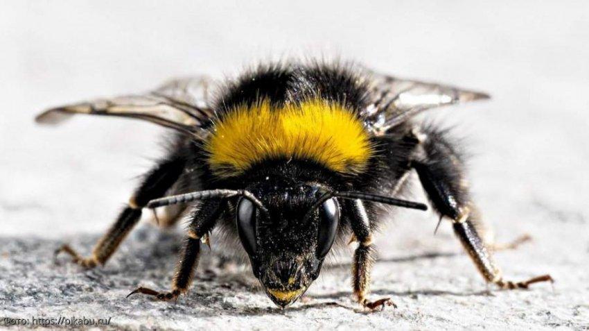 Шмели в кризисе: что мир потеряет, если насекомые этого вида исчезнут