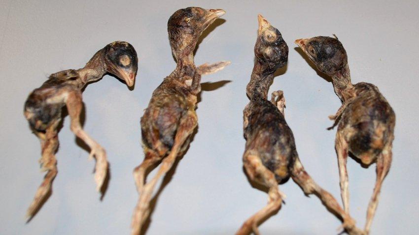В США у жителя из Китая в багаже обнаружили десятки мертвых птиц
