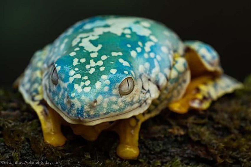 Американские биологи обнаружили более 30 видов земноводных с явлением биофлуоресценция