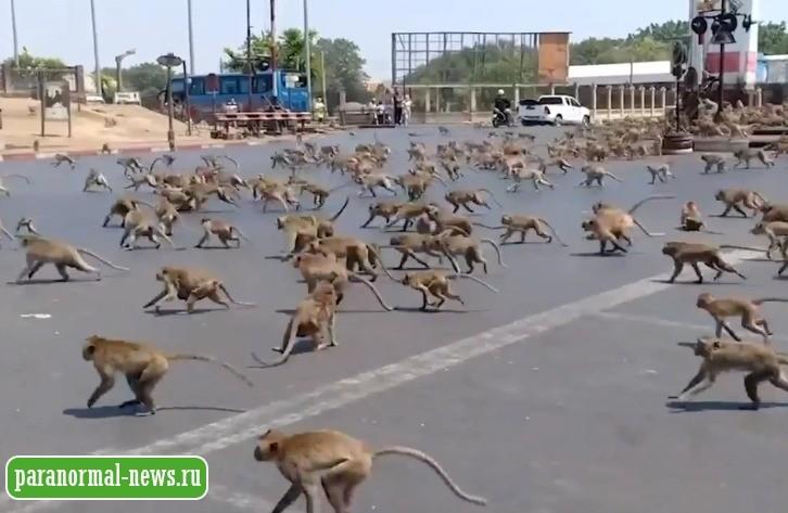 Сотни голодных обезьян наступают на тайские города, их больше некому кормить