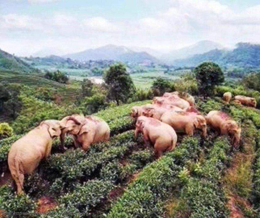 Слонам тоже нужен праздник: животные, выпившие кукурузного вина, мирно заснули в чайном саду