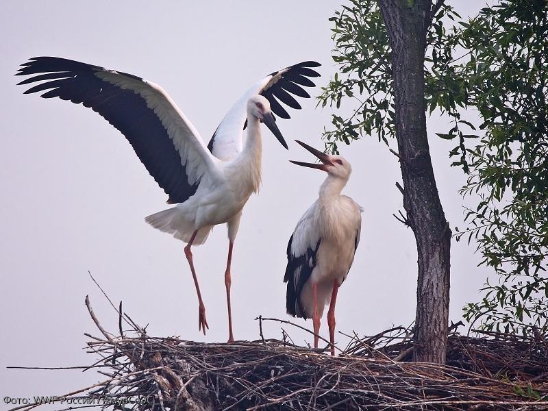 Дальневосточные аисты под защитой WWF и сервиса для знакомств Мамба