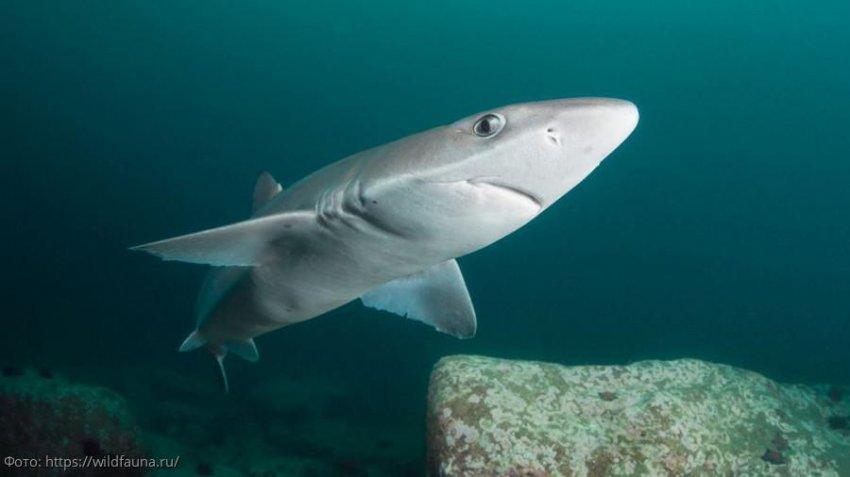ПУ ФСБ России по Краснодарскому краю напоминает о запрете на вылов акулы-катран и скатов в период нереста камбалы-калкан
