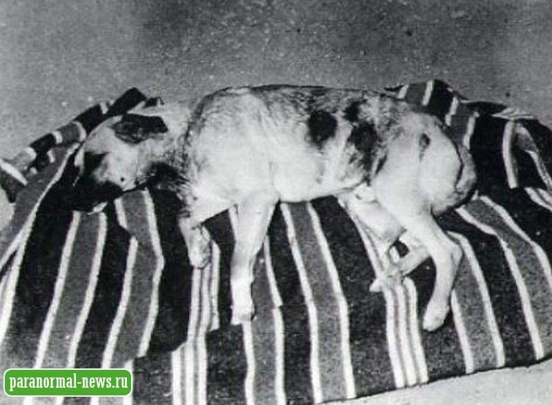Атака чупакабры? В 1979 году в Испании нечто убивало собак, свиней и коз, высасывая кровь и удаляя органы из тела