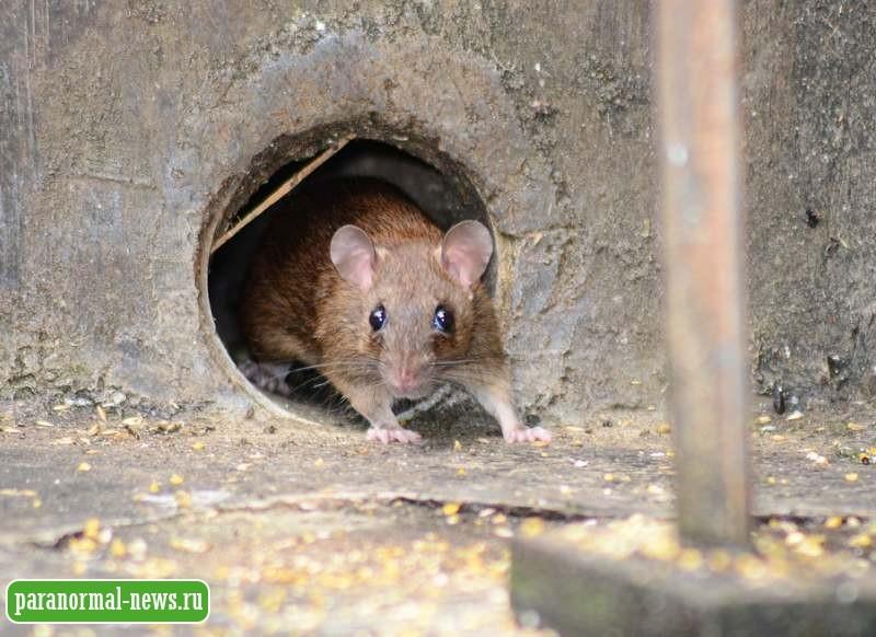 В США обнаружили крыс-каннибалов, возникших из-за эпидемии коронавирус