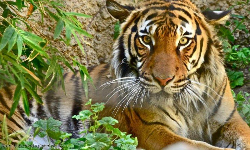 Вымирающие тигры сталкиваются с растущими угрозами от азиатского дорожно-строительного бума