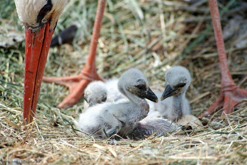В Великобритании появились птенцы аиста впервые за 600 лет
