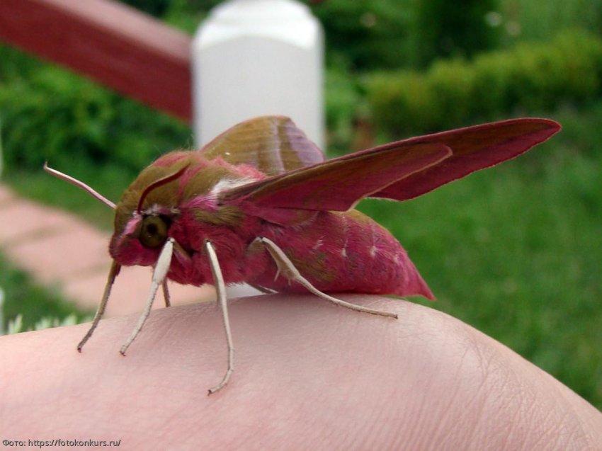 Мотыльки опыляют растения ночью – и их работа важнее, чем у дневных насекомых